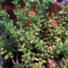 Identifying a Houseplant - succulent with small nubby leaves
