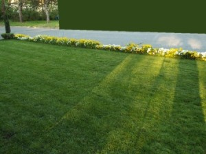 Product Review: Falcon 4 Lawn Grass Seed - pretty green lawn