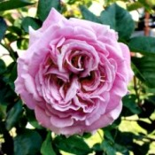 Summer Romance Rose - dark pink rose bloom with tight swirling petals
