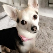 Is My Dog a Purebred Chihuahua? - black and white Chihuahua