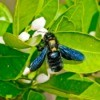 Carpenter Bee on a plant.
