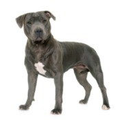 Staffordshire Bull Terrier on a white background.
