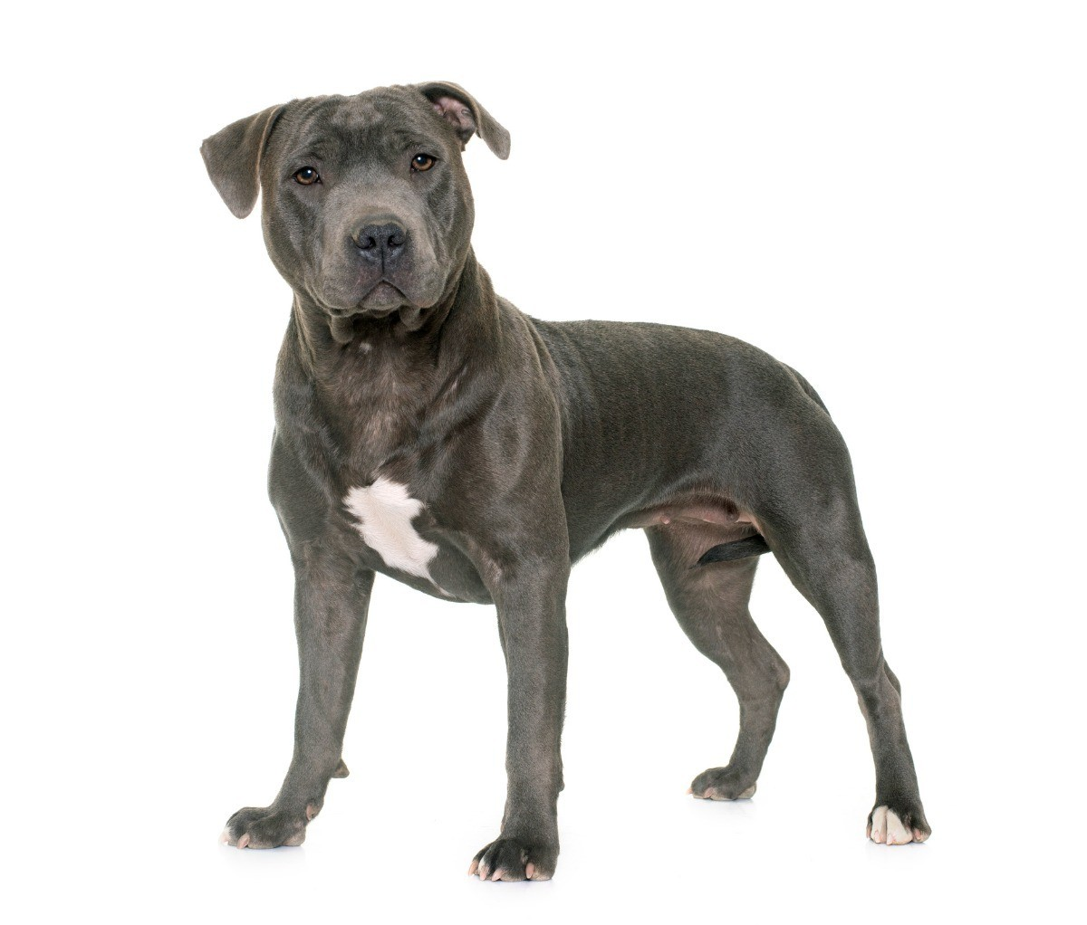 Is a Staffordshire Bull Terrier the Same as a Pit Bull