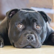 Staffordshire Terrier laying on the floor.