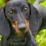 Dachshund looking at you.