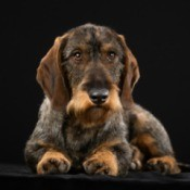 Wirehaired Dachshund with a black background.