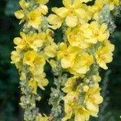 Verbascum Yellow flowers
