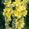 Verbascum Yellow flowers