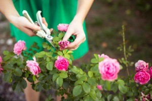 Woman Dead Heading Roses in her garden