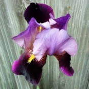 "A tall purple bearded iris, called ""Velna."""