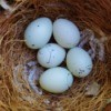 Finch Eggs in a nest.