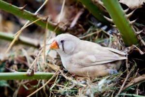 Zebra Finch in nest.
