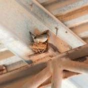 Zebra Finch nest in the rafters.
