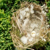 Empty finch nest on a shrub.