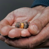 Baby Zebra Finch in someones hands.
