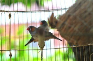Finches in cage with a nest.