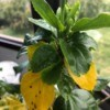Hibiscus Won't Flower  - plant with yellow lower leaves