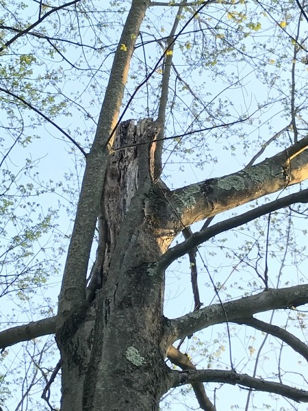 A tree with a broken main trunk.