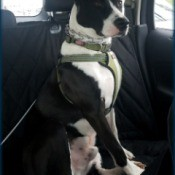 What Breed Is Our Dog? - black and white dog on car seat