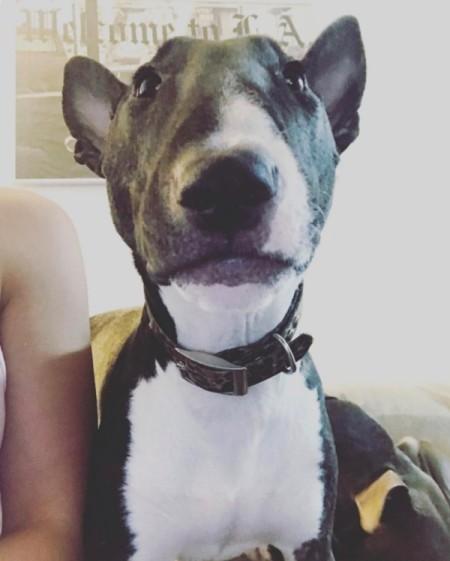 Pistol (Mini Bull Terrier) - closeup of grey and white dog