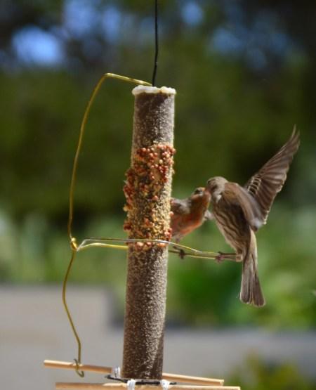 House Finch Courtship - male feeding female