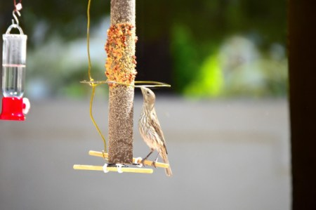 House Finch Courtship - bird stretching to reach seeds