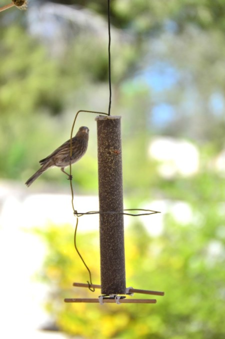 House Finch Courtship - empty seed log