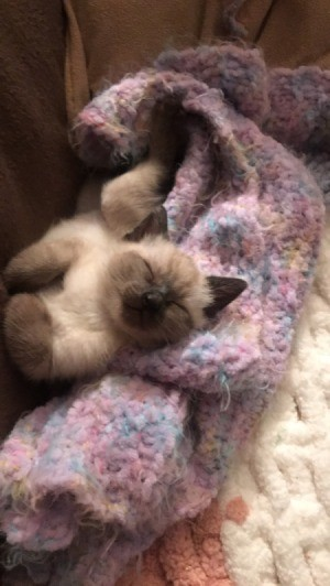 What Breed Is My Kitten? - cream and brown kitten