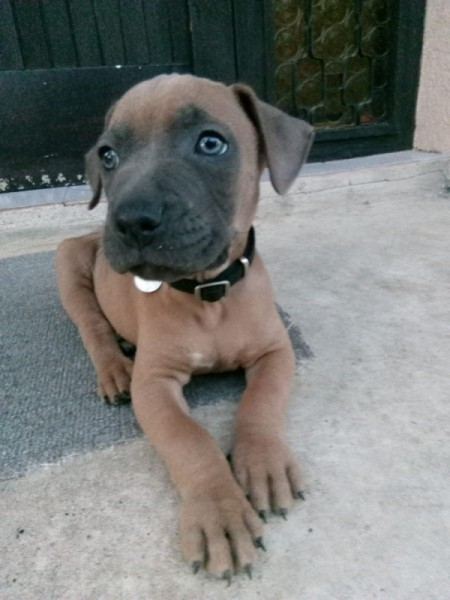 Is My Pit Bull Full Blooded? - brown puppy with dark muzzle