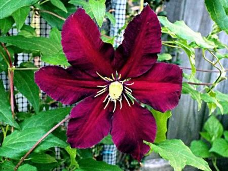 Clematis Niobe - beautiful red flower with dark edges