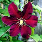 Clematis Niobe - beautiful red flower with dark edges