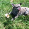 Pugchee (Chihuahua Mix)  - brindle dog with treat bone