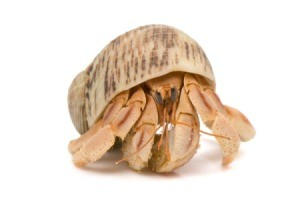 Hermit Crab on a white background