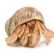 Hermit Crab on a white background