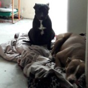 Is My Dog a Pit Bull? - two dogs on a blanket on the floor