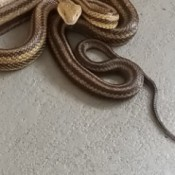 Identifying a Snake - striped snake with triangular head
