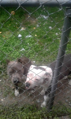 Is My Pit Bull Full Blooded? - two Pits behind a chain link fence