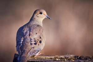Mourning Dove on a log