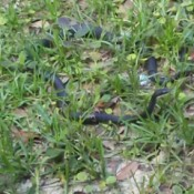 What Kind of Snake Is This? - black snake in weeds with its head raised