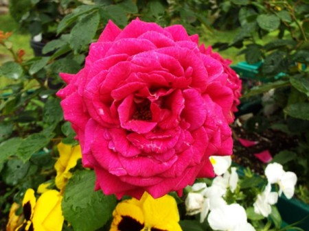 A deep red rose in full bloom.