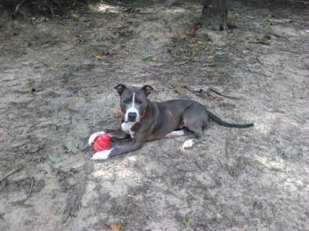 Babygirl  - grey and white dog with a Kong