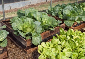 Raised beds with vegetable growing in them