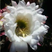 Cactus Flower - white flower tinged with pin on the ends of the lower petals