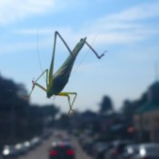 The Hitchhiker (Grasshopper) - on a car windshield