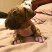 Is My Dog a Full Blood Pit Bull? - brindle puppy