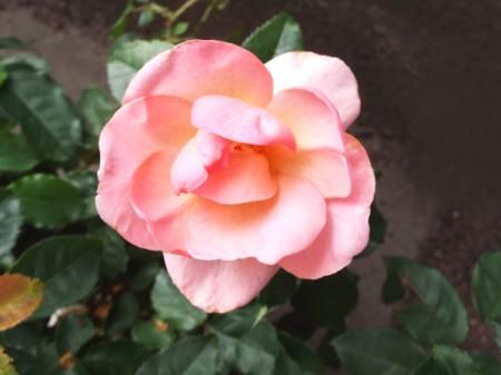Peachy Knockout Rose - peachy pink rose