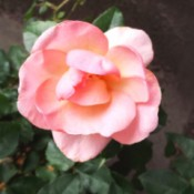 Peachy Knockout Rose - peachy pink rose