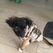 Is My Dog a Chihuahua? - black and tan puppy
