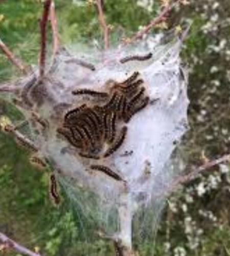 Killing Tent Caterpillars  - tent with caterpillars inside