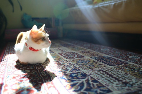 Cat Sitting In The Sunlight On A Wool Rug